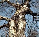 femme-arbre.jpg
